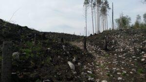 Avohakattu metsä, jossa muutama yksinäinen puu pystyssä.